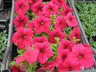 В омске рассада цветов 82