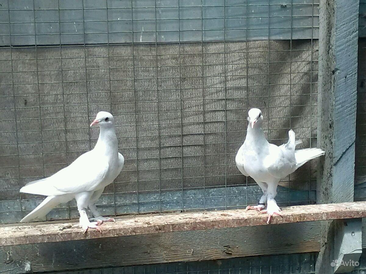 виды бакинских голубей фото пойдемте