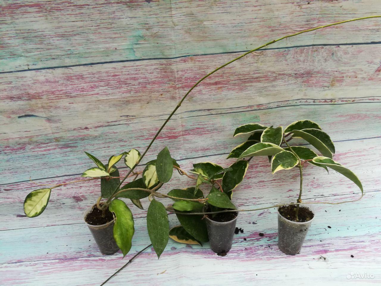Хойя - взрослое растение купить на Зозу.ру - фотография № 3
