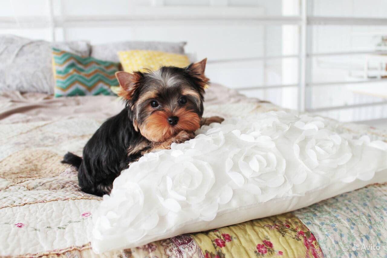 Йоркширский терьер -очень красивые щенки в Иваново - фотография № 10