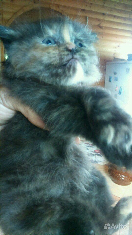 Котята, 1 месяц. Приучены к лотку