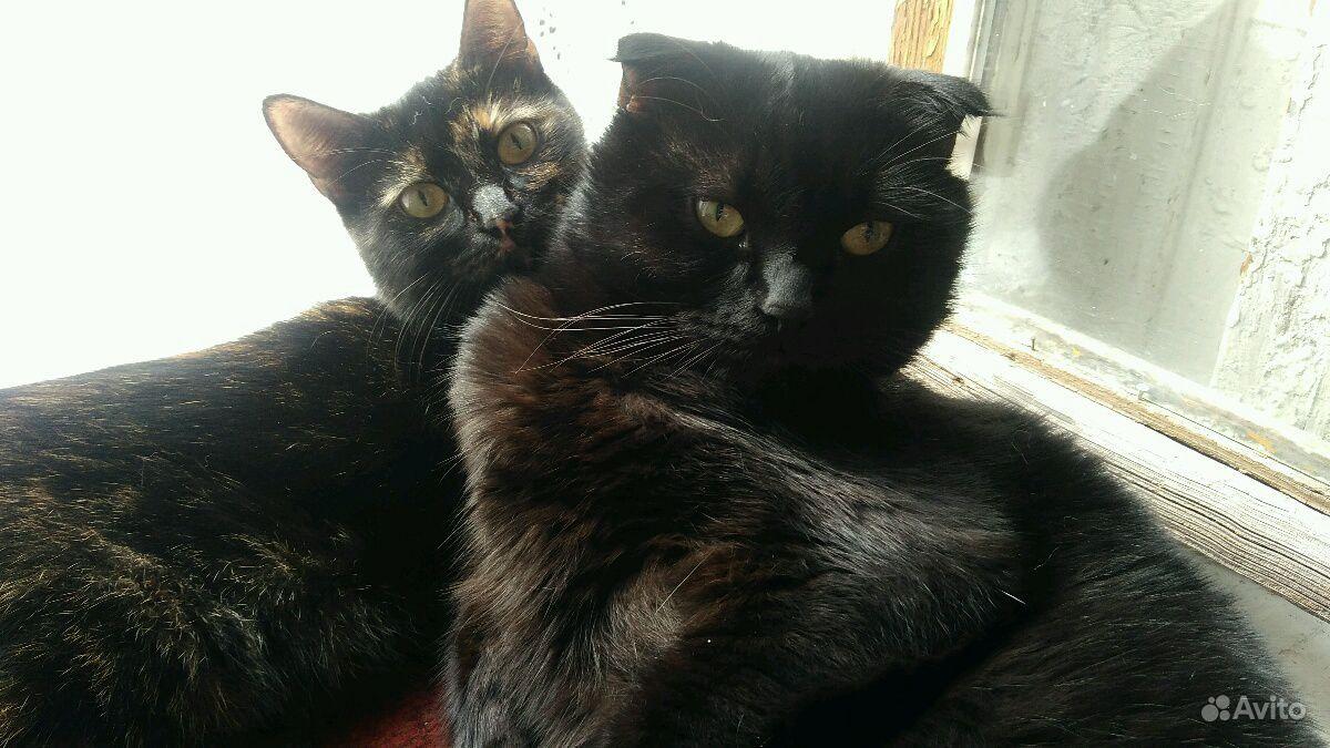 Кошки скотиш фолд и скотиш страйтчерепашковый окра