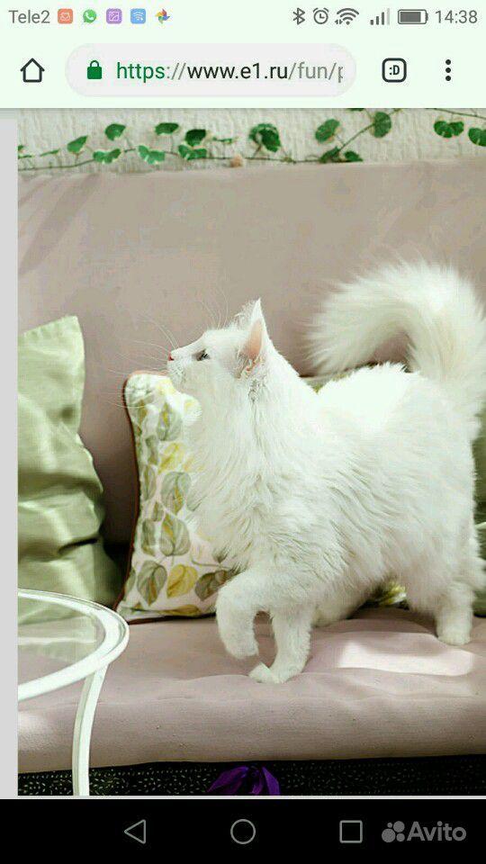 Шикарный ласковый ангорский кот