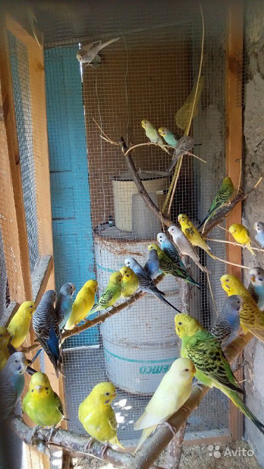 Попугаи,Волнистики,Карэллы.молодняк на продажу
