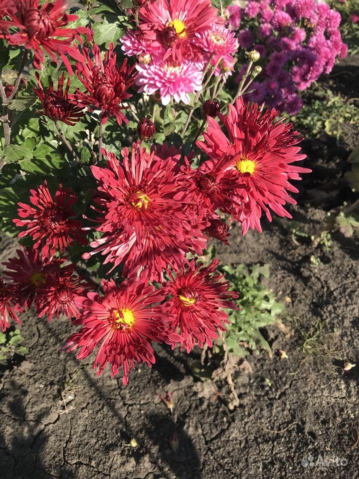 Хризантемы купить на Зозу.ру - фотография № 6