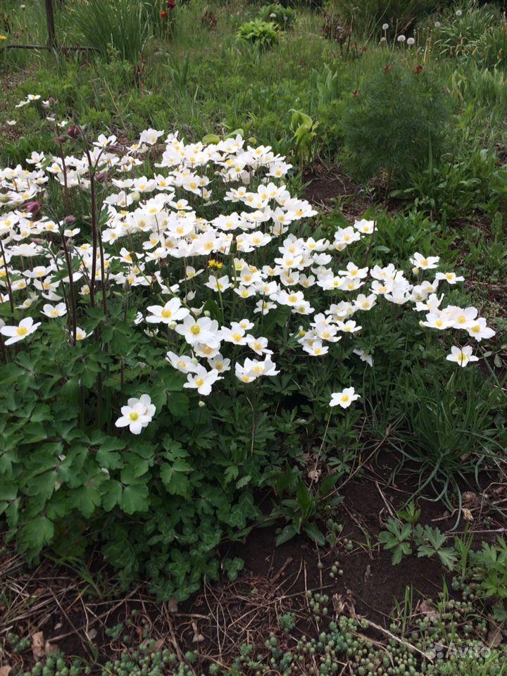 Многолетние растения и цветы купить на Зозу.ру - фотография № 3