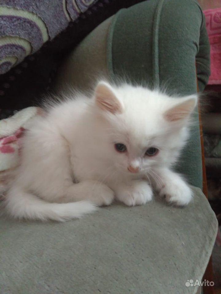 белые пушистые котята сургут фото характере твёрдость, голове