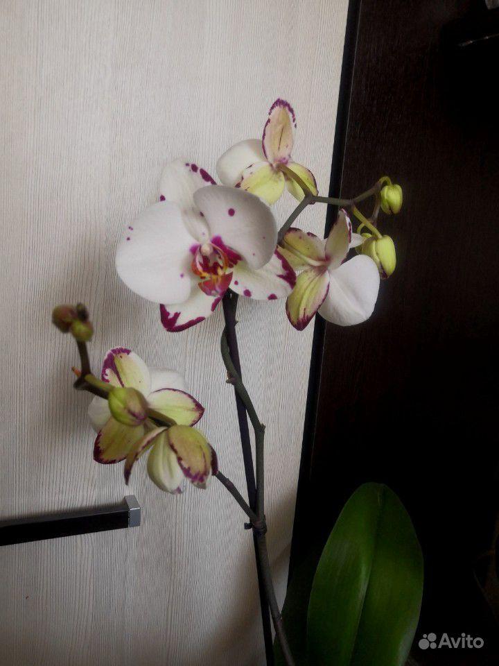 Орхидея фаленопсис купить на Зозу.ру - фотография № 3