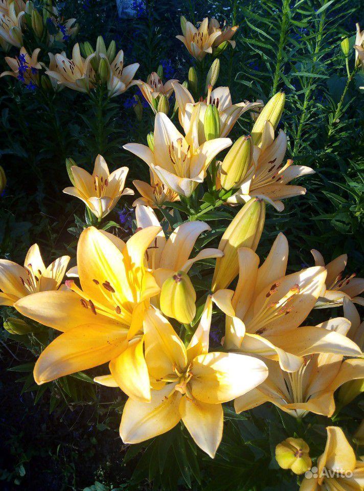 Продам лилии купить на Зозу.ру - фотография № 8
