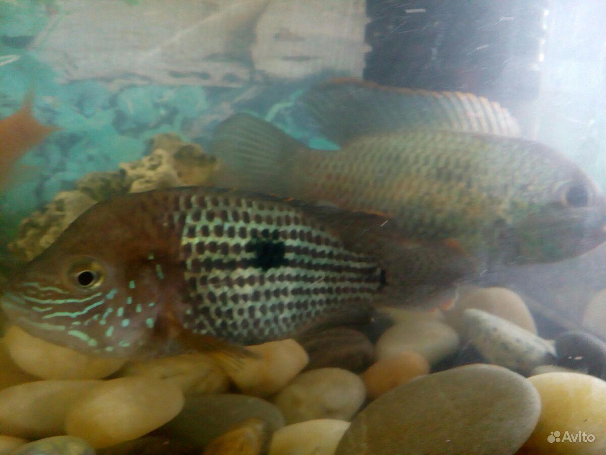 Аквариумная рыбка купить на Зозу.ру - фотография № 2