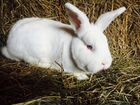 Кролики, пестрый великан и новозиланские белые
