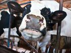 Крс Быки,коровы,нетель,мясо, говядина