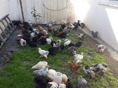 Цыплята чистая брама