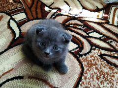 Шотландские котята, мальчик и девочка