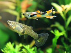 Рыба Гуппи эндлера