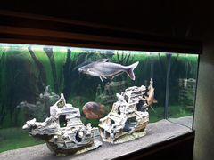 Акулий сом и винная цихлозома