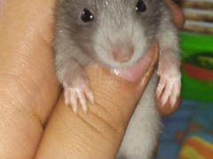 Крысята ищут мампап