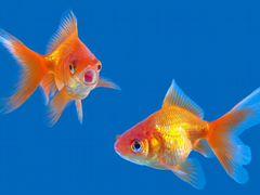 Две золотые рыбки
