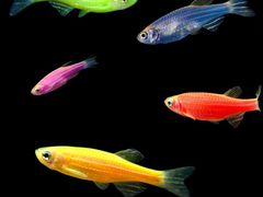 Данио GloFish