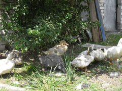 Утки-несушки