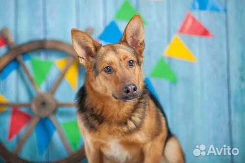 Овчаристый пёс Берти в добрые руки/ в дар купить на Зозу.ру - фотография № 1