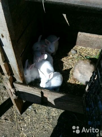 Продам декаративных кроликов,козлят. цена договорн