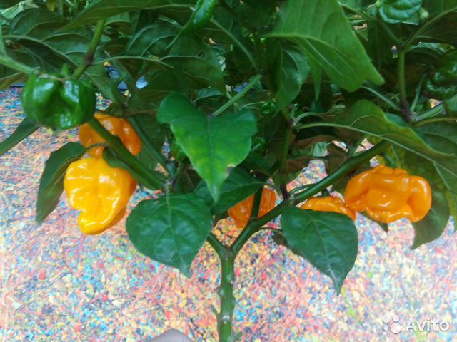 перец каролина риппер купить семена в москве