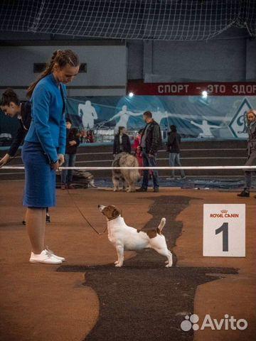 Джек Рассел терьера щенки купить на Зозу.ру - фотография № 9