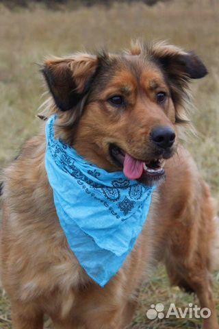 Рыжая собака красотка Джесси в дар купить на Зозу.ру - фотография № 4