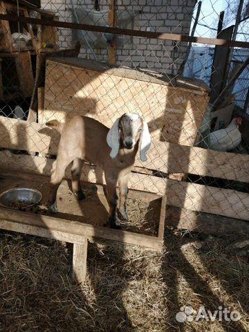 Кoзы и козлята англо-нубийские купить 1