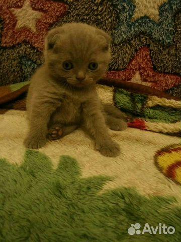 Британские котята 89788145185 купить 2