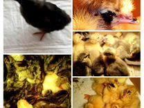 Цыплята- бройлеры, Индюшата