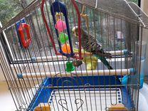 Продам два попугая с клеткой