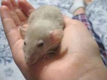 Крысятки дамбо