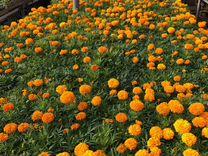 Рассада цветочная И овощная