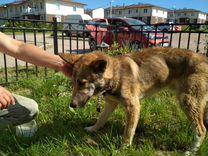 Ищет дом дружелюбный ласковый пес
