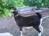 Альпо-Нубийский козлик