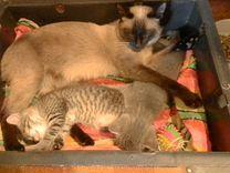 Котята от сиамской кошки в добрые руки