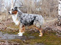 Вязка Австралийская овчарка (Аусси). кобель