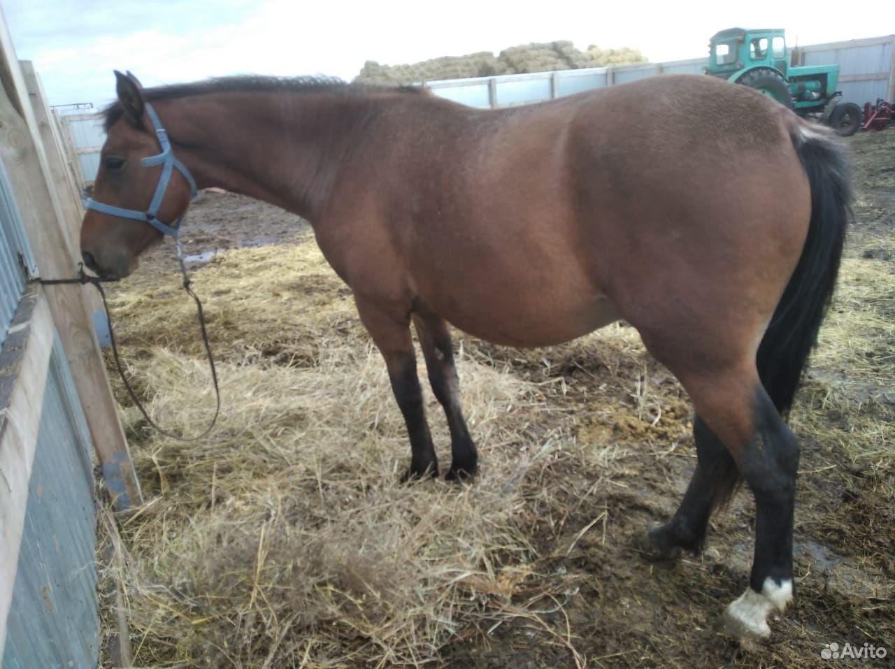 Лошадь 89514099184 купить 2