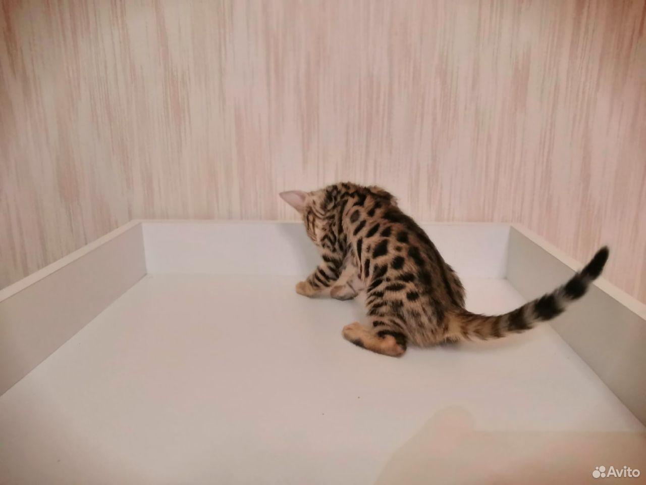 Бенгальские котята  89610262725 купить 6