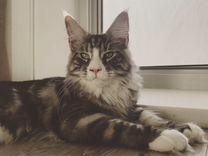Продам котёнка породы мейнкун