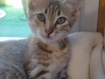 Трехцветная котенок-девочка в дар