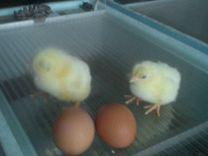 Перепела, цыплята, яйцо с.Вельяминово