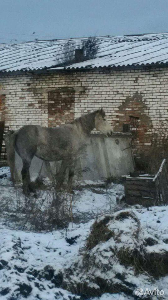 Лошадь  89502701546 купить 4