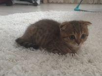 Продам вислоухого котёнка