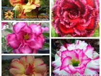 Адениум,роза пустыни