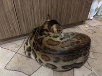 Продам бенгальского кота-производителя