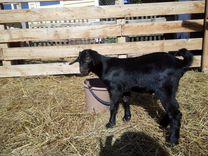Козлик от высокоудойной козы